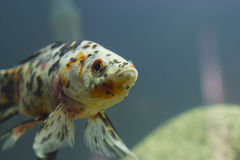 Small fishes in an aquarium Royalty Free Stock Images