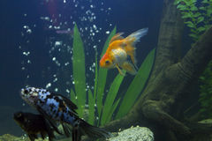 Small fishes in an aquarium Stock Photo