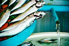 Small fishes being washed Stock Images