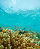 Small fishes and coral reef Royalty Free Stock Photography