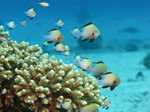 Small fishes on coral reef Stock Images