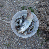 Small fishes in a plastic cup. Small fish caught and put in in a plastic cup Royalty Free Stock Image