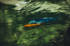 Small fishes in pond close up vv. Small fishes in pond closeup Stock Photo