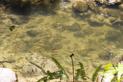 Small fishes in pond Royalty Free Stock Photos