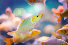 Small fishes Stock Images