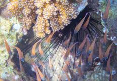 Small fishes and sea urchin. Tropical seashore inhabitants underwater photo. Stock Image