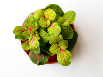 Small fittonia verschaffeltii. Nerve plant fittonia with red nerve and round leaves Stock Images