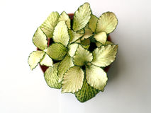 Small fittonia verschaffeltii Royalty Free Stock Images