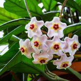 Small five pointed star flowers of the wax plant stock photography