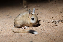 Small five-toed jerboa Allactaga elater Royalty Free Stock Photos