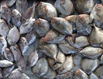 Small Flat Fish on Sale at Market. An assortment of fresh Scup fish is being offered at an outdoor market stock photography