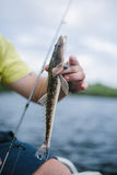 Small flathead fishing. Juvenile flathead fish caught from boat Royalty Free Stock Photo