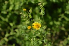Small fleabane Stock Photos