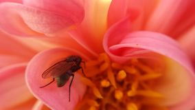 Small flie inside pink soft flower. Gathering golden pollen stock photo