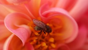Small flie inside pink soft flower. Gathering golden pollen royalty free stock photos