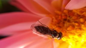 Small flie inside pink soft flower. Gathering golden pollen stock images