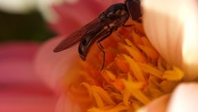 Small flie inside pink soft flower. Gathering golden pollen stock image