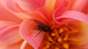 Small flie inside pink soft flower. Gathering golden pollen stock photos