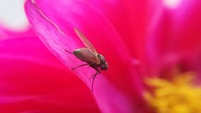 Small flie on pink wildflower. Heading for the golden pollen center royalty free stock photography