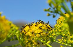 Small flies on fennel flowers. Wildflowers of fennel and insects Stock Photos
