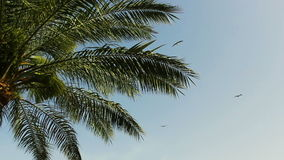 A small flock of birds gracefully fly over the leaves of a palm tree against a clear blue sky. Flora and fauna. stock footage