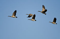 Small Flock of Canada Geese Flying in a Blue Sky Royalty Free Stock Image