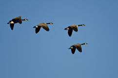 Small Flock of Canada Geese Flying in a Blue Sky Stock Image