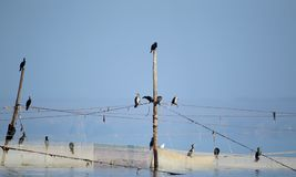 A small flock of cormorants sits on fishing nets royalty free stock photography