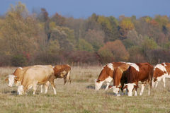 Small flock of cows on meadow Royalty Free Stock Photos