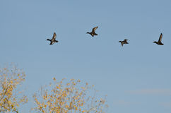 Small Flock of Ducks Flying Low Over the Tree Tops Stock Photography