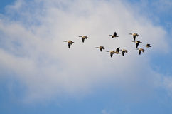 Small Flock of Geese Flying in a Beautiful Sky Stock Photos
