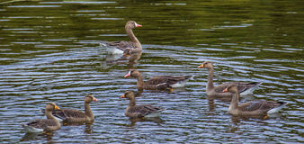 Greater White Fronted Goose Royalty Free Stock Photo