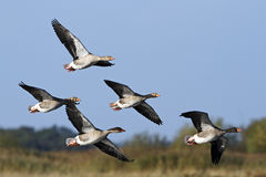 A small flock of Greylag Geese (Anser anser) in flight. Royalty Free Stock Image