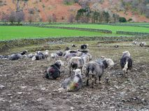 Small flock of herdwick sheep Royalty Free Stock Photography