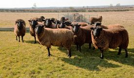 Jacobs Sheep, Early Spring Sunshine. Royalty Free Stock Photos