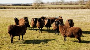 Jacobs Sheep, Early Spring Sunshine. Stock Photography