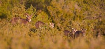 Small flock of Mouflon Royalty Free Stock Photo