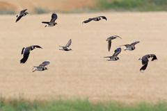 A small flock of northern lapwing Vanellus vanellusin flight Royalty Free Stock Photography