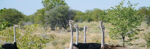 Small flock ostrich. Males and females in bush in Namibia Royalty Free Stock Photos