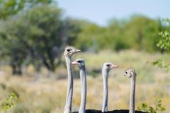 Small flock ostrich. Males and females looking very goofy as they look around to see whats going on in bush in Namibia Stock Image