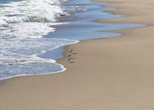 Small flock of Sandpipers feeding at a beach, Italy. Royalty Free Stock Image