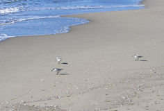 Small flock of Sandpipers feeding at a beach, Italy. Royalty Free Stock Images