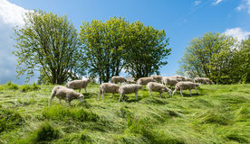 Small flock of sheep grazing on the dike Stock Photo