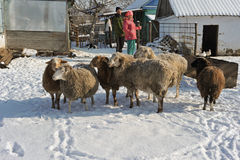 A small flock of sheep in the household of a rural family. Stock Photos
