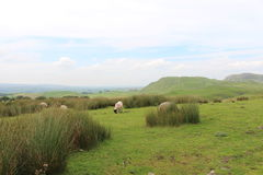 Small flock of sheep on yorkshire moors. A view of a sheep grazing on the moors of Yorkshire Stock Images