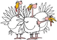 Small flock of turkeys. This illustration depicts a small flock of domestic, white turkeys Royalty Free Stock Images