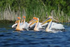 Small flock white pelicans in breeding plumage. On blue water Stock Image