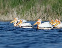 Small flock white pelicans in breeding plumage. On blue water Royalty Free Stock Photos