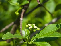 Small flower and buds on European or Common Spindle Tree, Euonymus Europaeus, macro, selective focus, shallow DOF.  Royalty Free Stock Photos