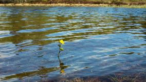 A little yellow flower on the lake. Northern plants stock video footage